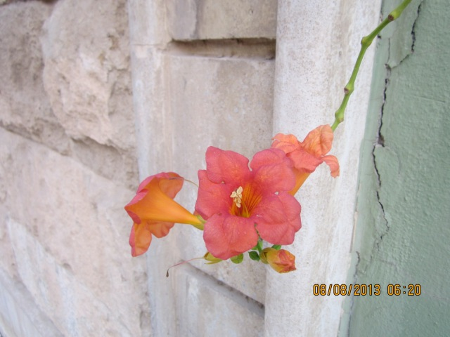 I loved this little trumpet of a flower